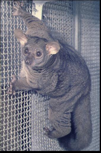 lemur rücken kraulen